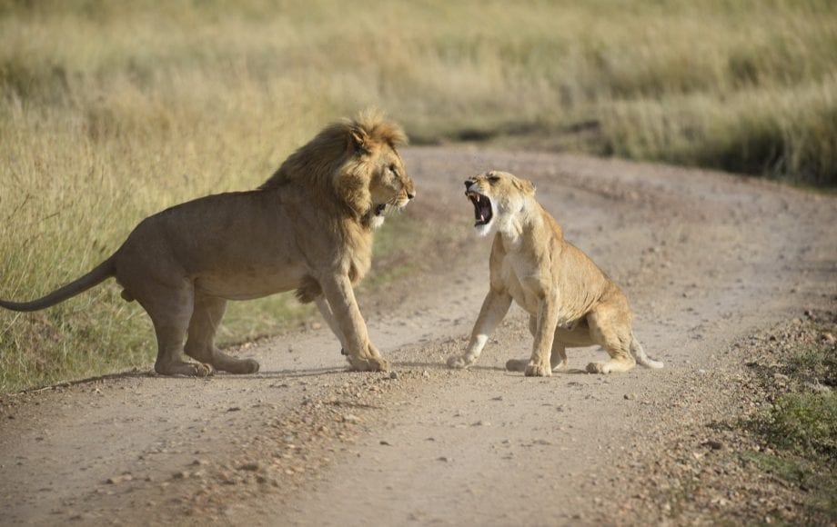 a lion and a lioness roaring at eachother