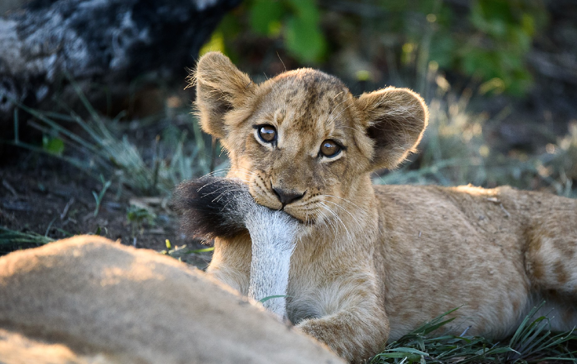 a lion cub biting his mothers tail