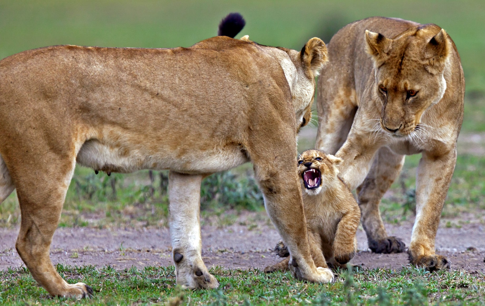 a cub roaring at a female lion