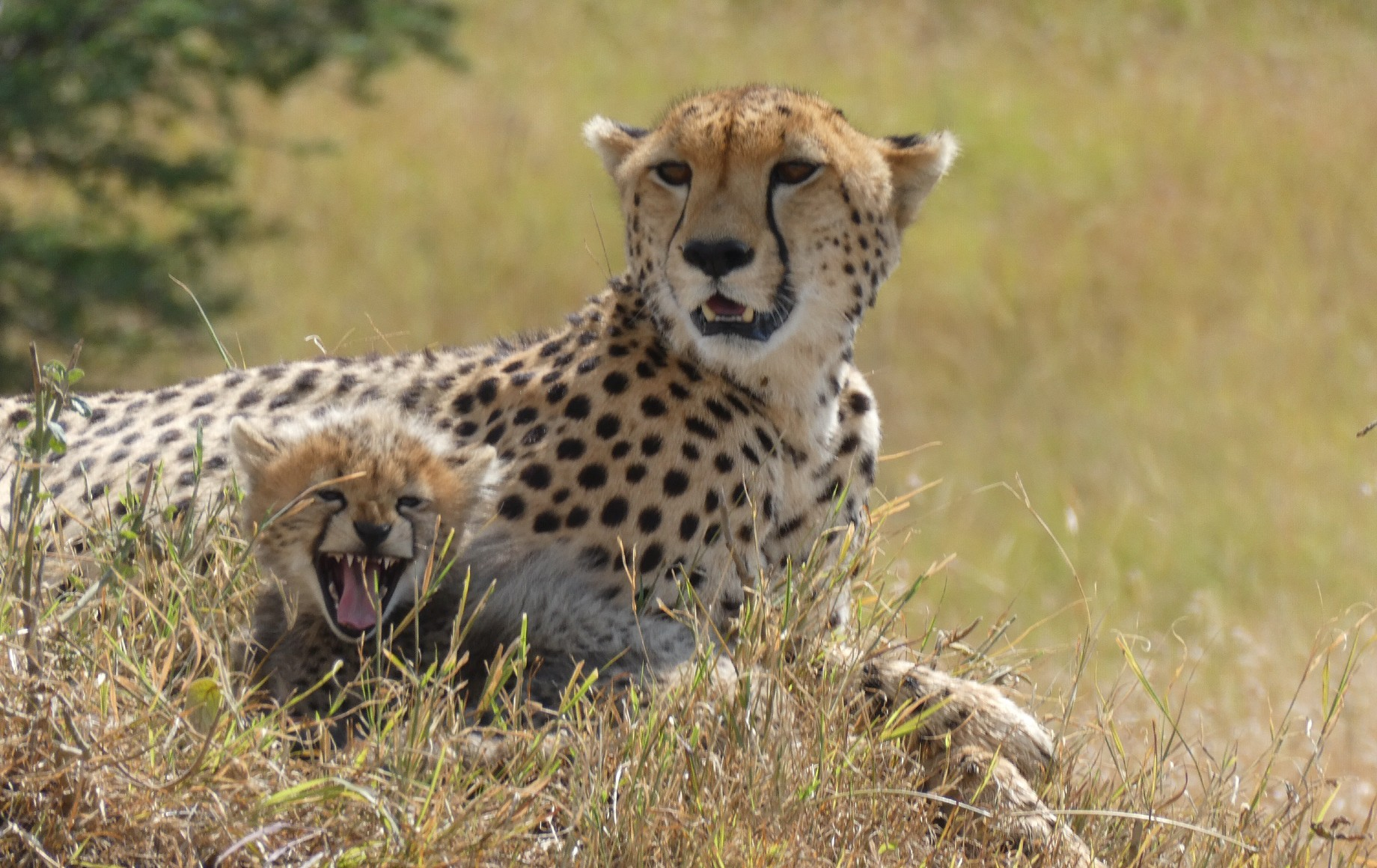 a cheetah and her cub relaxing