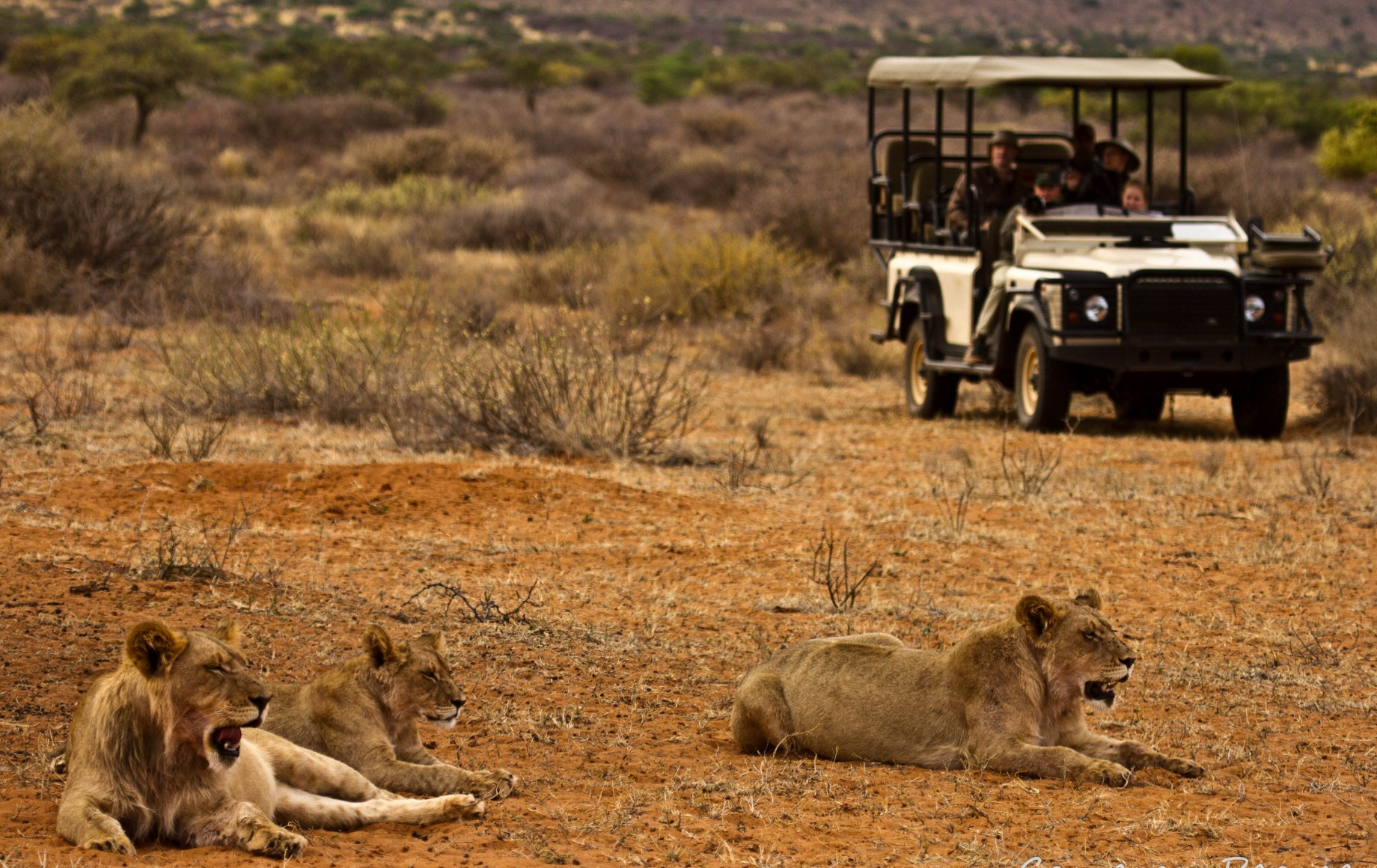 two lions with a safari cart in the background