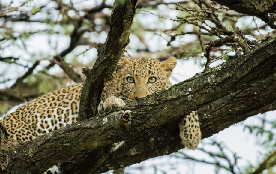 a cheetah peeking out from a tree