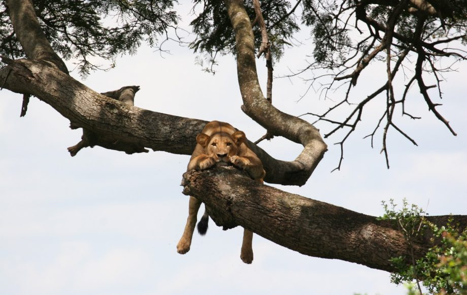 a lion hanging from a tree branch