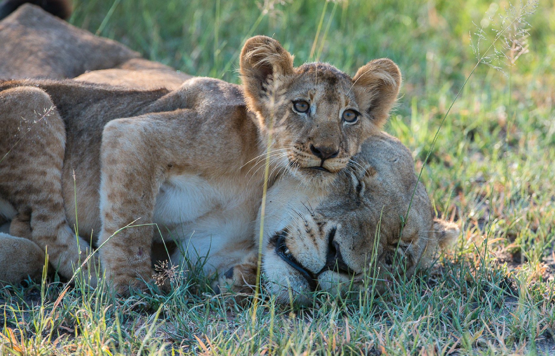 a lioness and her cub sleeping