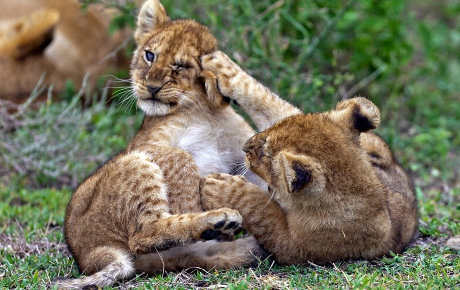 two lion cubs fighting