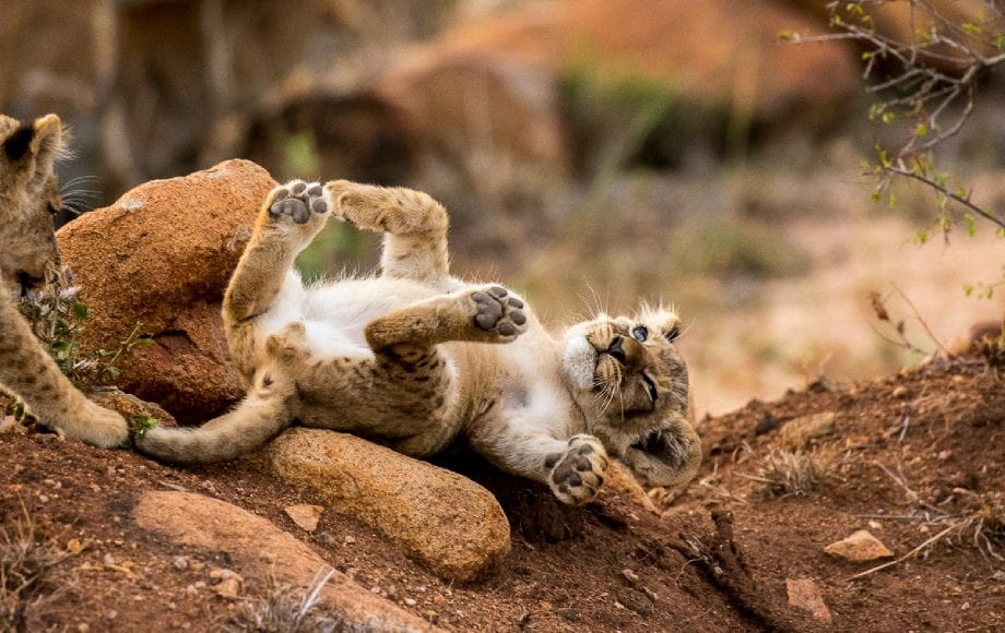 a lion cub streching on a log