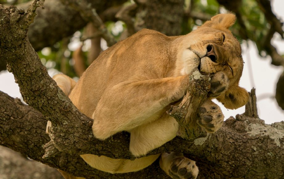 a lion cub curls up in a tree