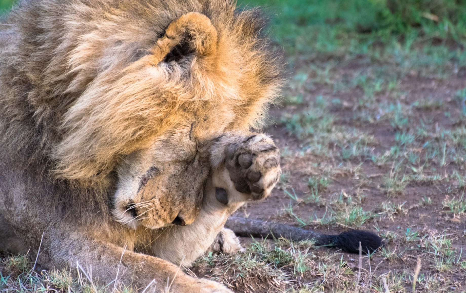 a lion paws his face