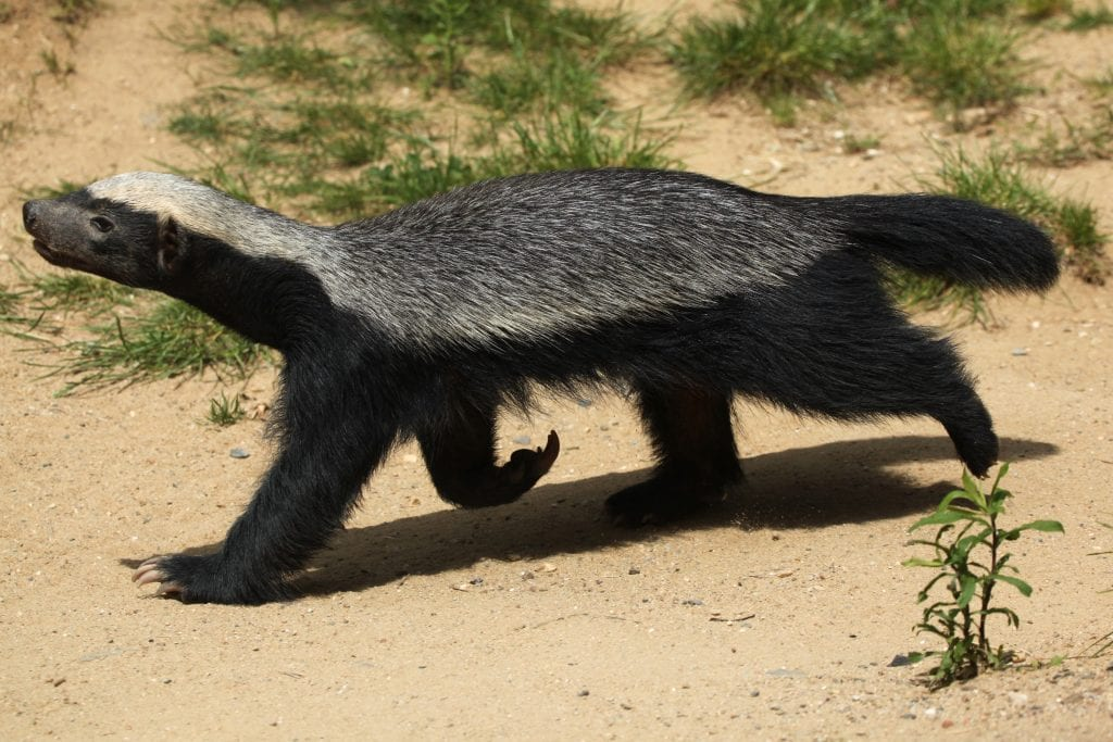 african-honey-badger