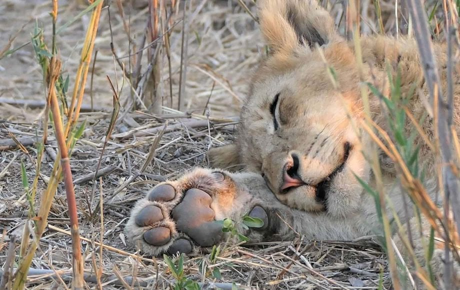 A lion sleeping in the grass