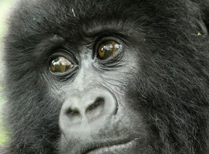 a baby gorilla looking at something