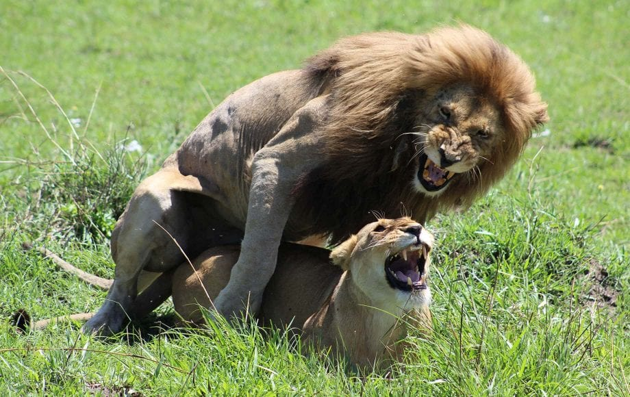 Two lions mating.