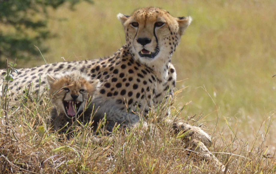 a cheetah sitting with her cub.