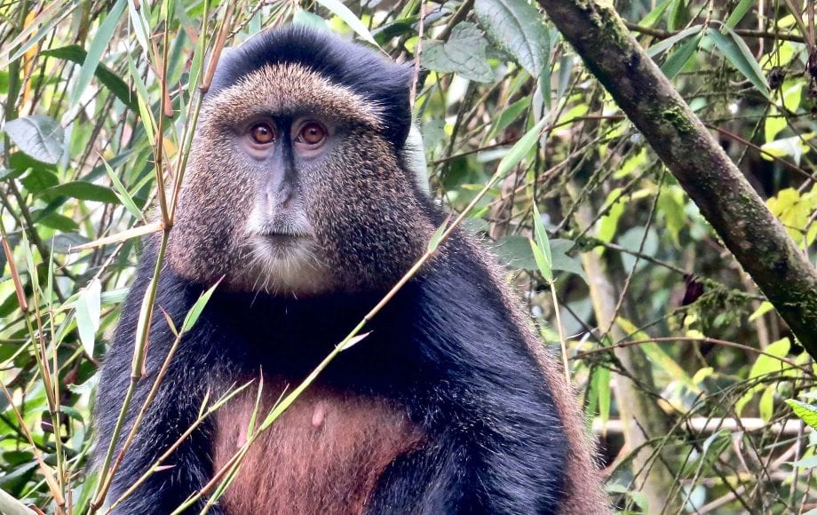 a baboon looking at the camera