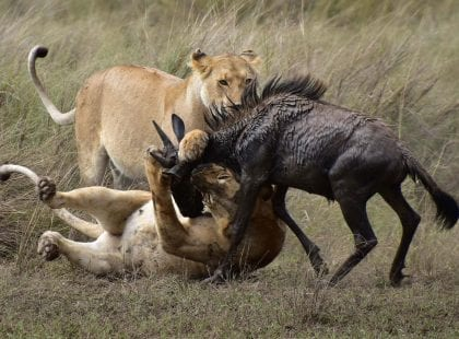 two lions attacking a wildabeest