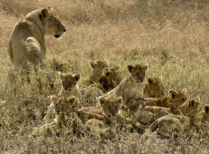 a lioness and a ton of cubs