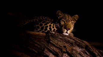 african leopard at night
