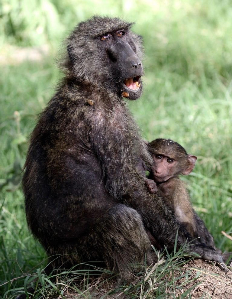 a baboon mother and a baby baboon