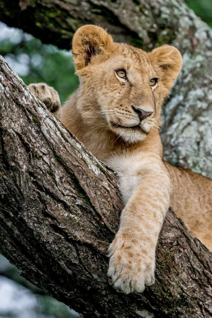 a juvenile lion lounging in a tree