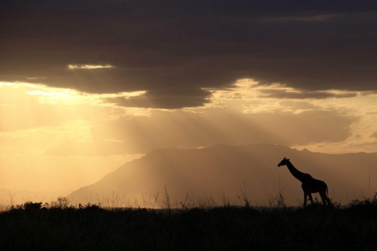 a giraffe walking during sunset on the African plains