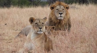 a lion and lioness lying in the grass