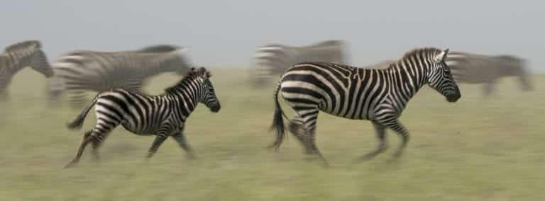 zebras running in the bush