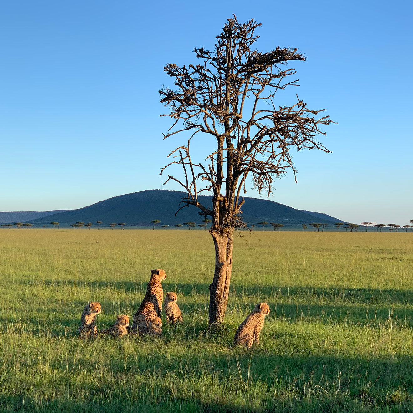 a pack of cheetahs sitting peacefully in the grass next to a tree