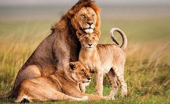 A family of lions.