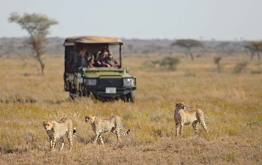 A jeep following some cheetahs in the Serengetti