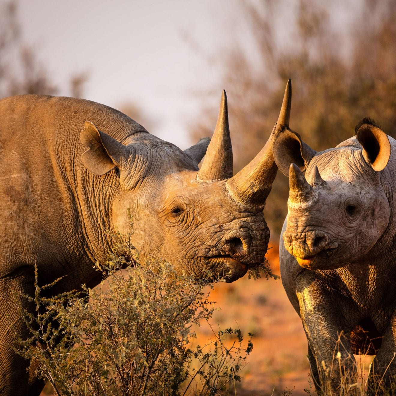 rhino's in the African bush