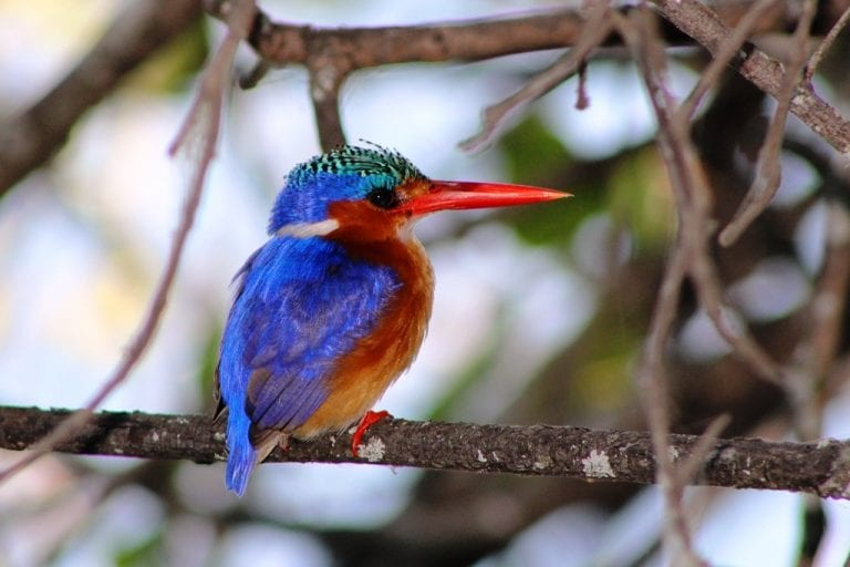 a colorful bird on a tree branch in the Okavango Delta
