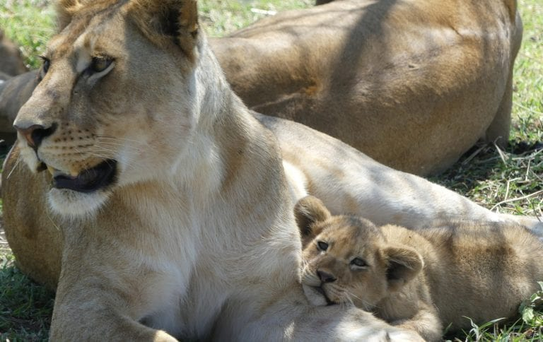 a lioness and her cub resting in the Serengeti