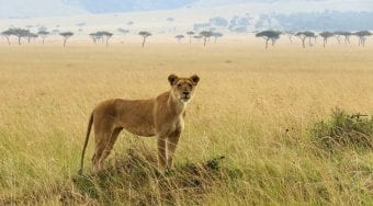 a lioness in the plains of the serengeti