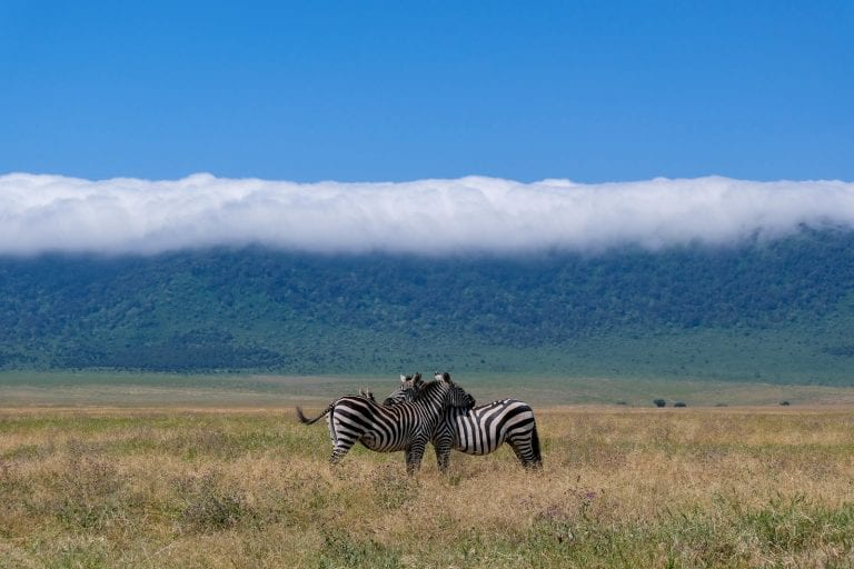 zebras resting with each other in the Ngorongoro Crater