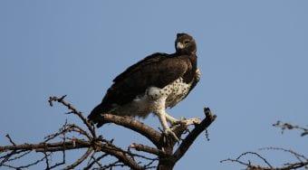 martial eagle by patrick nyaleta