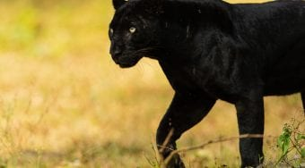 Saya the black panther