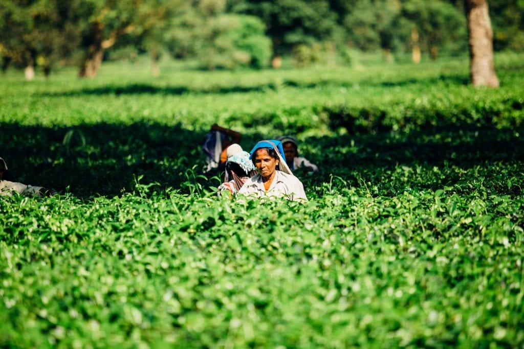 women picking tea in munnar, india