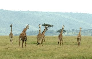 A group of giraffes traveling on an open plane.