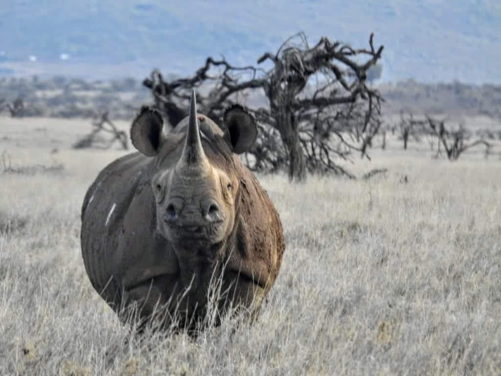 black rhinoceros face