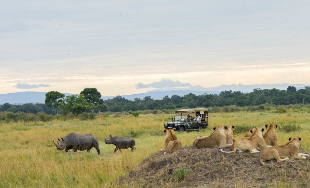 2 black rhinoceros with lions and a safari vehicle