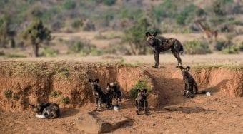 African Wild Dogs Kenya